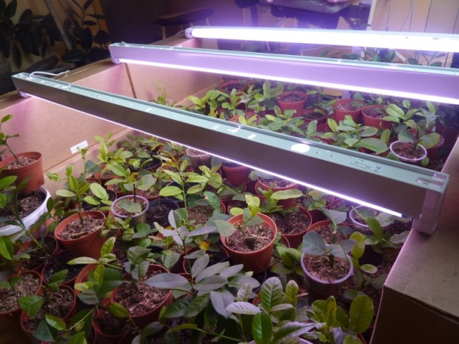 Пример люминесцентного освещения растений