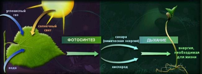 Процесс фотосинтеза растений