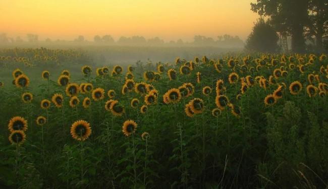 Подсолнечники в природе на поле